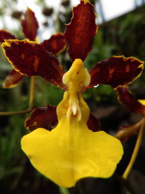 Visiting the Amazon in Ecuador: Amazon visitors enjoy orchid at Cuyabeno, Ecuador