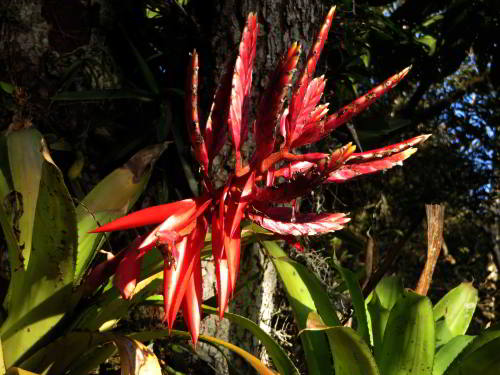 Bromelia at the Cuyabeno Lodge