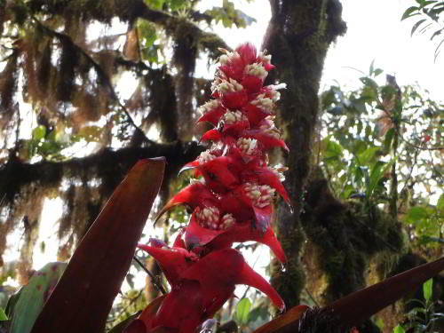 10 Cotacachi Cayapas Ecological Reserve Facts: Bromeliads are common epiphytes in the montane cloudforest.