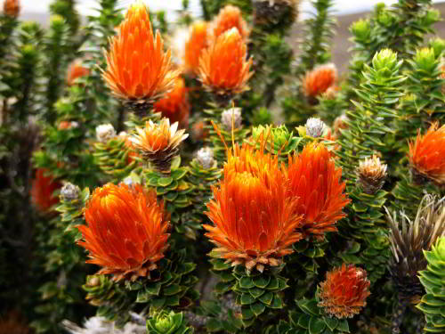 CHIMBORAZO WILDLIFE RESERVE: the best developed shrub is the Chuquiraga jussieui.