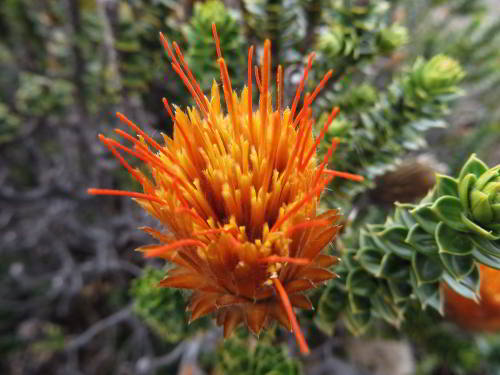 10 Cotacachi Cayapas Ecological Reserve Facts: Chuquiraja is a very hardy shrub that grows anywhere in the paramo.