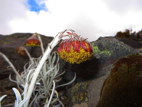 10 INTERESTING FACTS ABOUT CHIMBORAZO FAUNA  RESERVE, ECUADOR: Culcitium navale, Show frailejones, reach to the snow line at 5000m