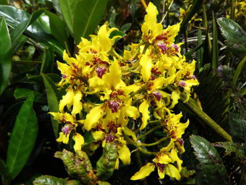 CUYABENO NATIONAL RESERVE [ECUADOR's AMAZON]: yellow orchids.
