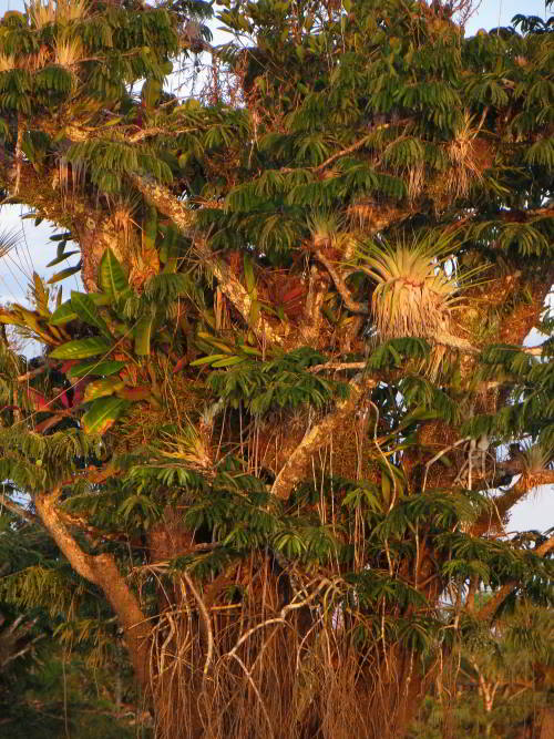 Epiphytes in the Amazon Jungle