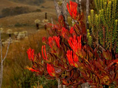10,000 NATIVE FLOWERS OF ECUADOR [100 PICTURES]: Paramo Mistletoe Shrub, Psittacanthus sp. is a parasitic shrub.