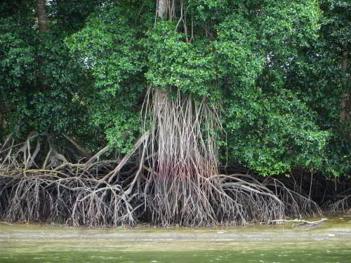 CHURUTE MANGROVES ECOLOGICAL RESERVE, GUAYAQUIL: Red Mangroves in the tidal zone.