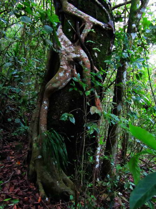 Strangle vine is an amazon forest Fig plant