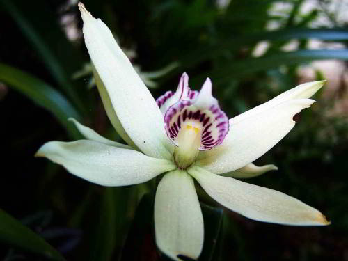 CUYABENO NATIONAL RESERVE [ECUADOR's AMAZON]: White orchid.