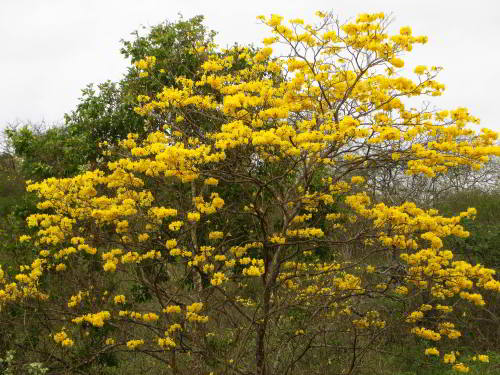 MACHALILLA NATIONAL PARK TOURS: Golden Trumpet Tree flowers