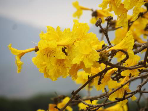 MACHALILLA NATIONAL PARK TOURS: yellow flowers Pacific Coast, Ecuador.
