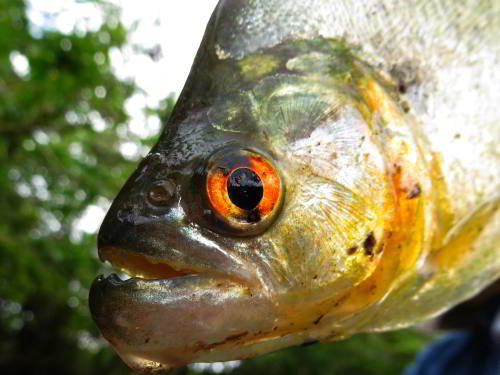 DIEREN VAN JUNGLE IN ZUID AMERIKA: Amazon Piranha mouth with teath caught when visiting the Amazon in Ecuador.