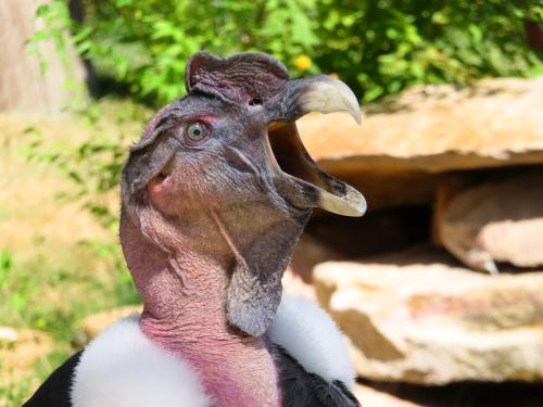 ECUADOR ANDES TREKKING TOUR [TREK TO 10 NATIONAL PARKS]: Andean Condors are the largest birds of South America.