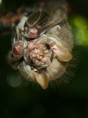 LES 25 ANIMAUX LES PLUS SPÉCULAIRES DE LA FAUNE DE L'ÉQUATEUR: Bats may have ugly faces in the Amazon Jungle