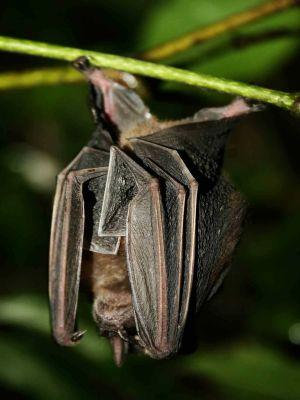 LES 25 ANIMAUX LES PLUS SPÉCULAIRES DE LA FAUNE DE L'ÉQUATEUR: Bats are very common animals of the Amazon jungle