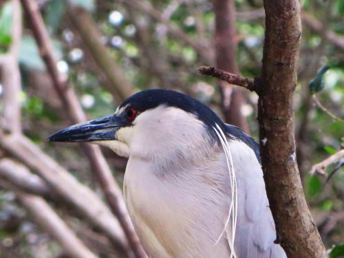 CHURUTE MANGROVES ECOLOGICAL RESERVE, GUAYAQUIL: The Black-crowned Night Heron is common along the Ecuadorian coastal region.