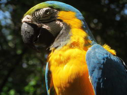 DIEREN VAN JUNGLE IN ZUID AMERIKA: Blue and Yellow Macaw of the swamps of the Amazon region.