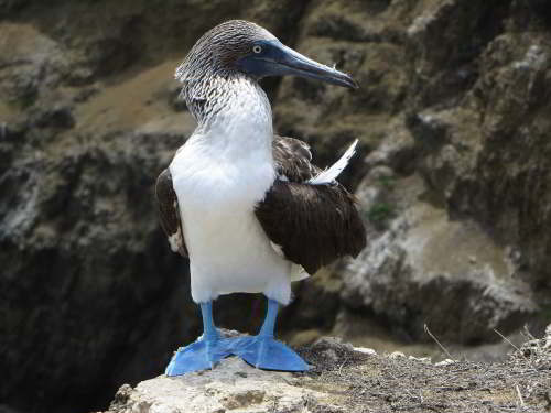 MACHALILLA NATIONAL PARK TOURS: Blue-footed Booby, Ecuador.