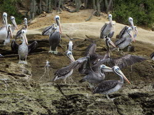 DIEREN VAN JUNGLE IN ZUID AMERIKA: Brown Pelicans at the Pacific coast.