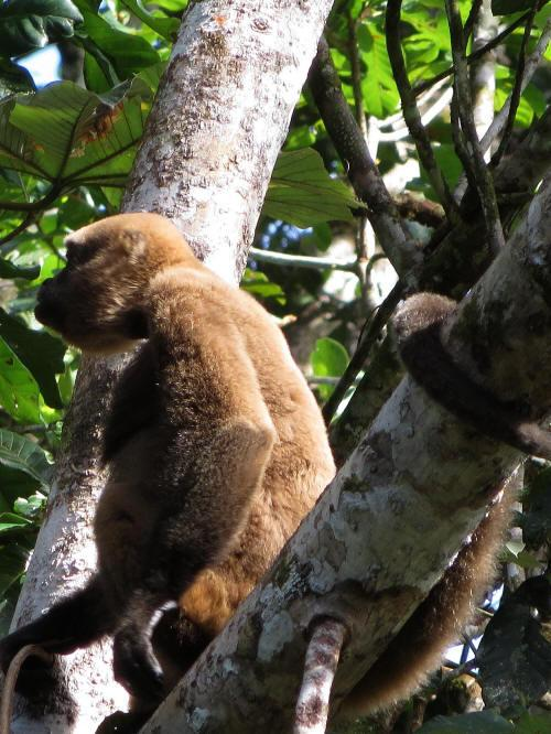 AMAZONE RIVIER, ECUADOR TOURS:  Brown Woolley Monkeys in Cuyabeno.