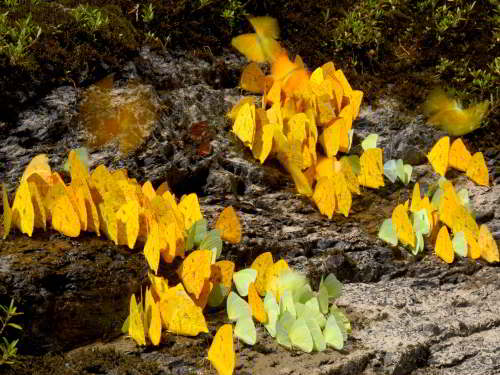 DIEREN VAN JUNGLE IN ZUID AMERIKA: Yellow butterflies at salt lick along a river bank.