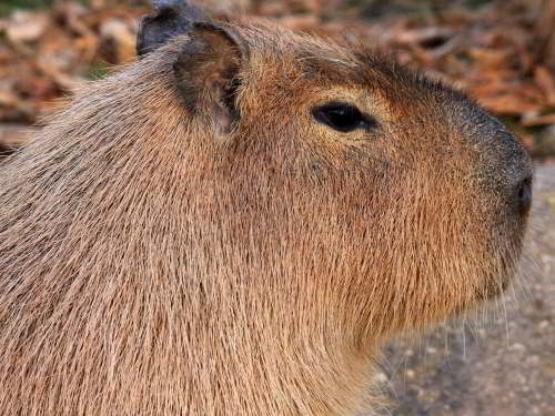 LES 25 ANIMAUX LES PLUS SPÉCULAIRES DE LA FAUNE DE L'ÉQUATEUR: Capybaras, Hydrochoerus hydrochaeris, as Amazon jungle animals