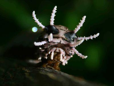 DIEREN VAN JUNGLE IN ZUID AMERIKA: Monster Caterpillar in the rainforest