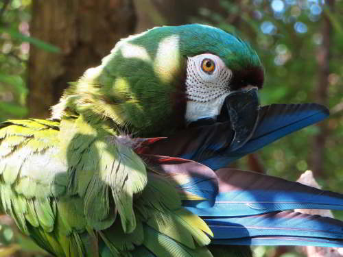 DIEREN VAN JUNGLE IN ZUID AMERIKA: Chestnut-fronted Macaw of the lowland forests.