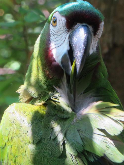 CHURUTE MANGROVES ECOLOGICAL RESERVE: Chestnut-fronted Macaw, Ara severa.