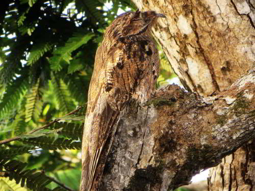 DIEREN VAN JUNGLE IN ZUID AMERIKA: Common Potoo is a member of the night swallow family