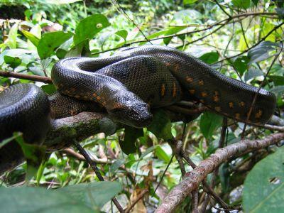 DIEREN VAN HET TROPISCHE REGENWOUD VAN DE AMAZONE VAN ECUADOR: Anacondas are infamous Amazon Jungle animals