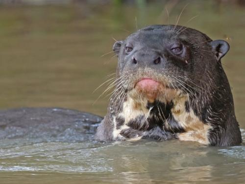 DIEREN VAN JUNGLE IN ZUID AMERIKA: Giant Otter at the Amazon Rainforest