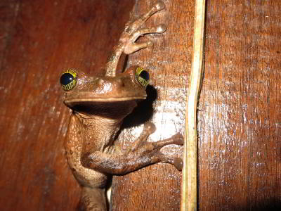 VACACIONES EN ECUADOR: Frog waiting to snap up a fat insect