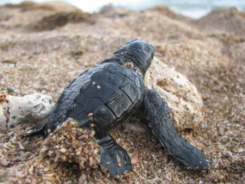 DIEREN VAN JUNGLE IN ZUID AMERIKA: A Green Turtle hatchling taking off to the sea.
