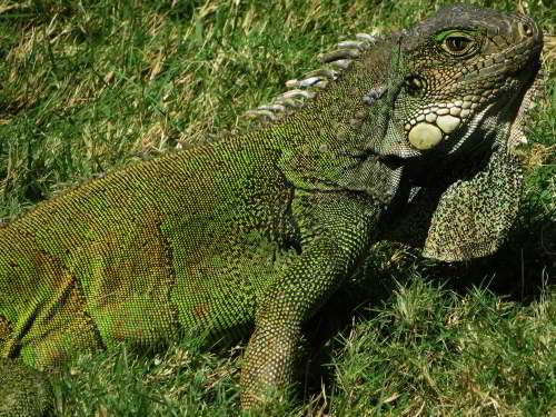 Top 12 things to do in Guayaquil, Ecuador: Parque Iguana Park. Parque