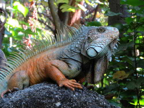 MACHALILLA NATIONAL PARK TOURS: Green Iguana, coast Ecuador