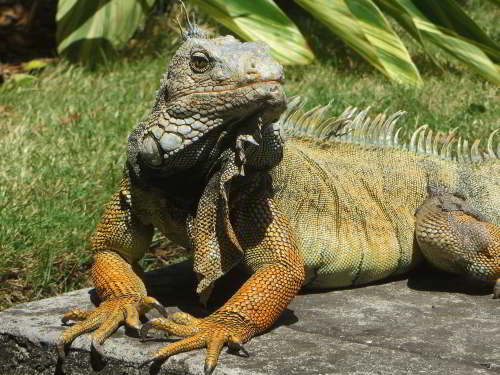 CHURUTE MANGROVES ECOLOGICAL RESERVE, GUAYAQUIL: The green Iguana, Iguana iguana, is very common in the mangroves of the reserve.