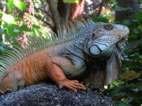 DIEREN VAN JUNGLE IN ZUID AMERIKA: Green Iguana male at a rock in Guayaquil.