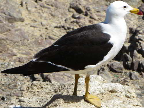 DIEREN VAN JUNGLE IN ZUID AMERIKA: Kelp Gull at the Pacific coast.