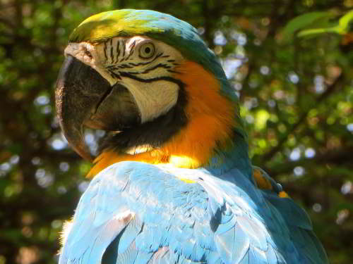 Blue and Yellow Macaw at Cuyabeno Wildlife Reserve