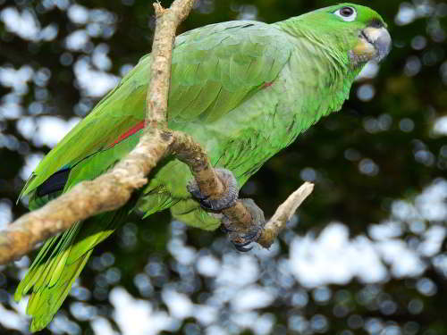CUYABENO NATIONAL RESERVE [ECUADOR's AMAZON]: Mealy Parrots are common in Cuyabeno.
