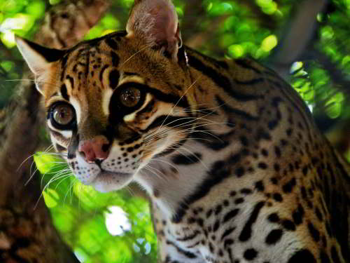CUYABENO NATIONAL RESERVE [ECUADOR's AMAZON]: Ocelot cats are common but rarely seen.