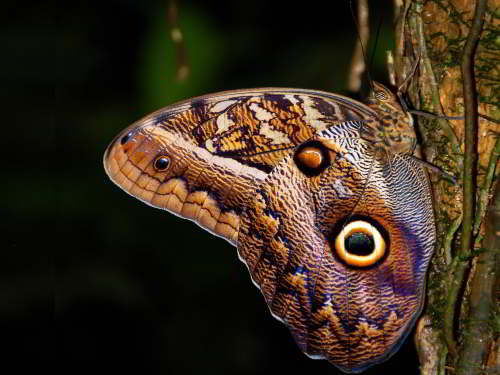 DIEREN VAN JUNGLE IN ZUID AMERIKA: Owl butterflies are difficult to spot.