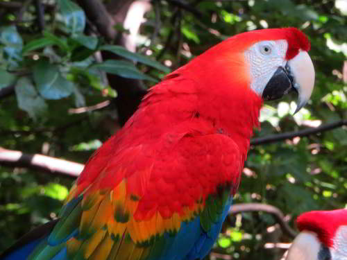 DIEREN VAN JUNGLE IN ZUID AMERIKA: Scarlet Macaw, Ara macao, in the Amazon Jungle