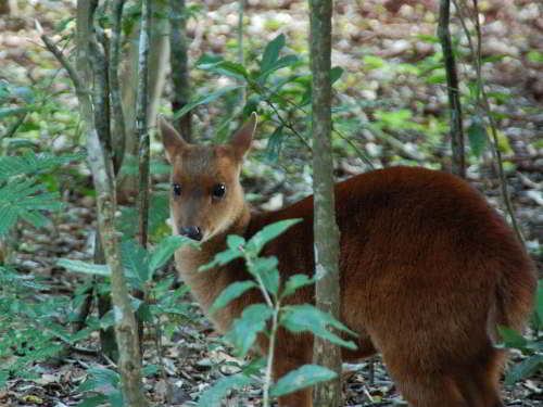 ANIMALS OF ECUADOR RAINFOREST: The Andean Red Brocket Deer,  Mazama rufina.