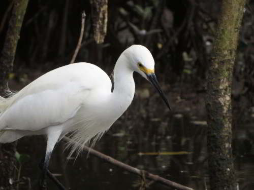 DIEREN VAN JUNGLE IN ZUID AMERIKA: Snowy Egrets breed in the mangroves.