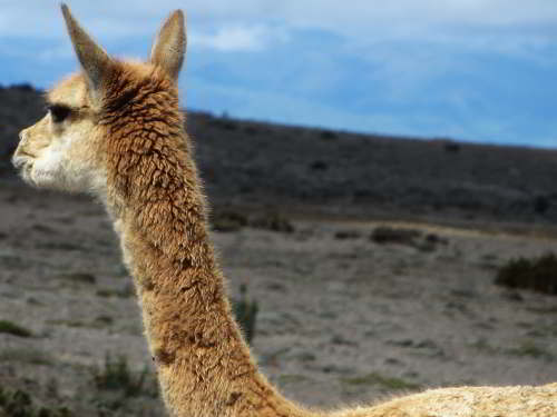 10 Best Nature Attractions in One Tour: Vicuna at the Chimborazo Game Reserve.