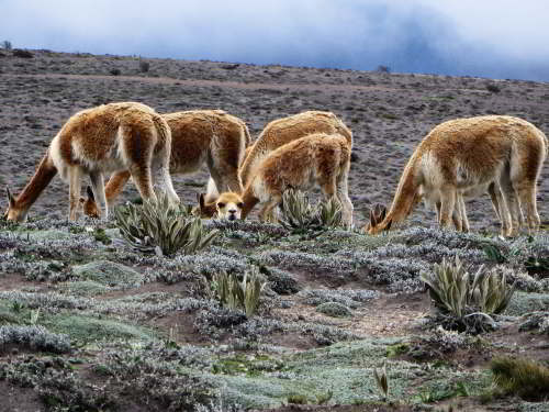 ECUADOR ANDES TREKKING TOUR [TREK TO 10 NATIONAL PARKS]: 6000+ Vecu�as roam freely at the chiborazo paramo.