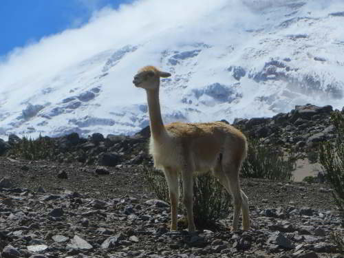 CHIMBORAZO WILDLIFE RESERVE: Vecuñas reach all the way to the snow line at 5000m