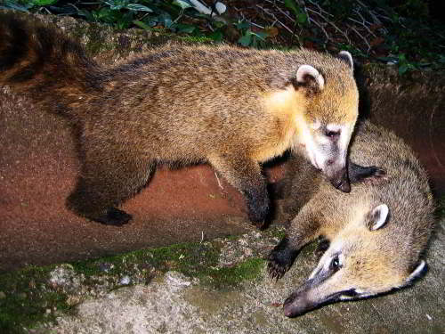 CUYABENO NATIONAL RESERVE [ECUADOR's AMAZON]: White-nosed Coatis are common in the Amazon.