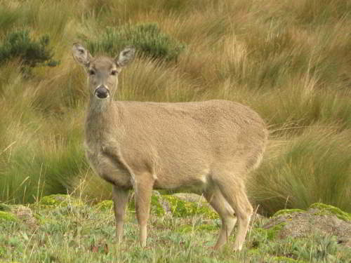 PODOCARPUS NATIONAL PARK, LOJA, ECUADOR: White-tailed Deer are present in all protected areas.